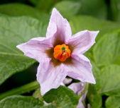 Image purple flower of potato — Stock Photo