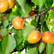 Ripe apricots on a tree branch — Stockfoto
