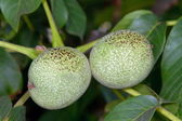 Image of Green walnut pair between leaves — Stock Photo