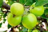 Four beautiful apples in an apple orchard — Stock Photo