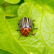 Image of Colorado beetle on potato leaf — Stock Photo