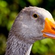 Home goose on a green background — Foto Stock