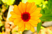 Image of garden plants flower calendula — Stock Photo