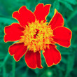 Image of a beautiful flower garden marigold TAGETES — Stock Photo