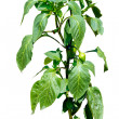 Hot pepper plant blooming with little peppers - isolated on whit — Stock Photo #30811235