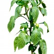 Hot pepper plant blooming with little peppers - isolated on whit — Stock Photo