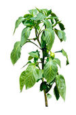 Hot pepper plant blooming with little peppers - isolated on whit — Photo