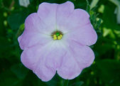 Image of a beautiful garden petunia flowers close-up — Stockfoto