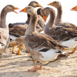 Mage of a flock of geese on the poultry farm — Stockfoto
