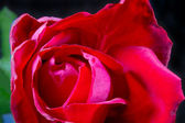 Image of a red rose bud close-up — Stock Photo