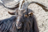 Picture of a black goat with big horns and black hair  — Stock Photo
