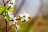 Preview twigs with flower young fruit tree  — Stockfoto