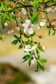 Preview twigs with flower young fruit tree  — Stock Photo