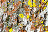 Image of an old tree bark with lichen on it  — Stock Photo