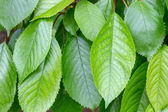 Leaves on a branch of fruit tree cherry — Stock Photo