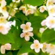 Preview plant twig flower blooming jasmine — Stock Photo