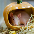 Pet rat breed sphinx sits in a pumpkin — Stock Photo #47716963