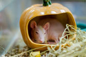 Pet rat breed sphinx sits in a pumpkin  — Stock Photo