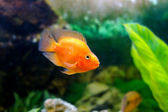 beautiful aquarium decorative orange parrot fish  — Photo