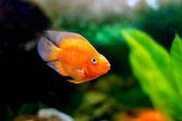 Schöne dekorative orange papagei aquarienfische — Stockfoto
