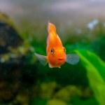 Beautiful aquarium decorative orange parrot fish — Stock Photo #47990869