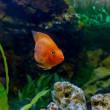 Beautiful aquarium decorative orange parrot fish — Stock Photo