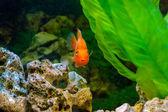 Beautiful aquarium decorative orange parrot fish — Stock Photo