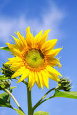 Young flowering plant sunflower against the sky — Stock Photo