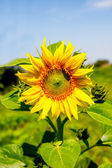 Young flowering plant sunflower against the sky — ストック写真