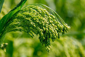 Preview green field plant millet background  — Stock Photo