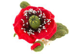 Poppy hair clip made of wool  — Stock Photo