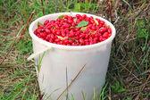 Cornel berries in the bucket — Stock Photo