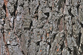 Old oak bark — 图库照片