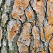 Stock Photo: Old pine bark