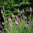 Common foxglove (Digitalis purpurea) - Stock Photo