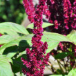 Red amaranth (Amaranthus cruentus) - Stock Photo