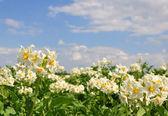 Patates alan — Stok fotoğraf