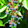 Virginia creeper (Parthenocissus quinquefolia) - Stock Photo
