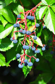 Virginia creeper (Parthenocissus quinquefolia) — Stock Photo