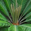 Cycad palm (Cycas) — Stock Photo