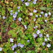 Slender Speedwell (Veronica filiformis) — Stock Photo