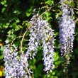 Chinese wisteria (Wisteria sinensis) — Stock Photo
