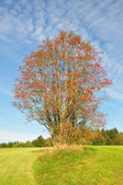 Rowan (Sorbus aucuparia) — Stock Photo