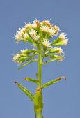 White butterbur (Petasites albus) — Stock Photo