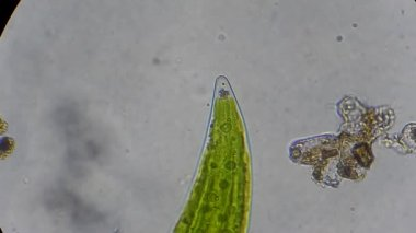 Closterium algae under microscope — Stock Video