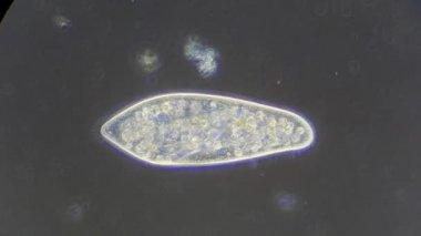 Infusori al microscopio — Video Stock