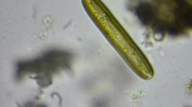 Live algae cell under microscope — Stok video