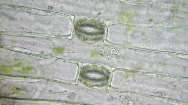 Plant cells with green chloroplasts and stoma under microscope — Stock Video