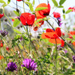 Poppies and other wild flowers on a green field in spring — Stock Photo