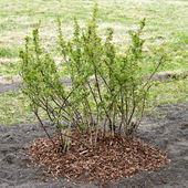 Mulching. Gooseberry is covered by a mulch from a pine bark — Stock Photo